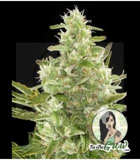 Semilla Critical + Automática 3 semillas feminizadas