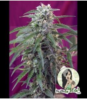 Semillas Green Poison Auto 3 semillas autoflorecentes