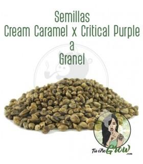 Semillas Cream Caramel x Critical Purple a Granel (50semillas)