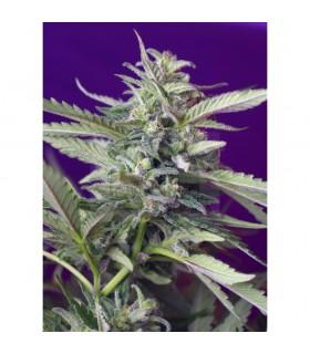 Semillas Sweetseeds Autofloreciente S.A.D. (automatica) 5 semillas