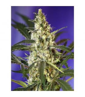 Semillas Sweetseeds Autoflorecientes Fast Bud (automática) 3+1 semillas