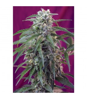 Semillas Sweetseeds Autoflorecientes Green Poison Auto (automática)5+2 semillas