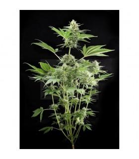Semillas Dinafem Autoflorecientes Road Runner num2 (automática) 5 semillas